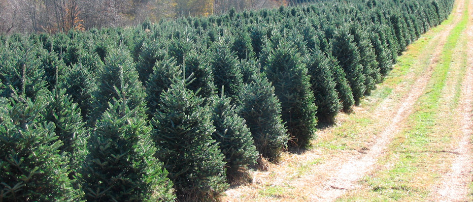 Christmas Tree Farm In Nc
